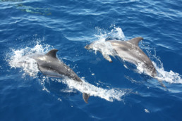Dolphins swimming in the ionian sea